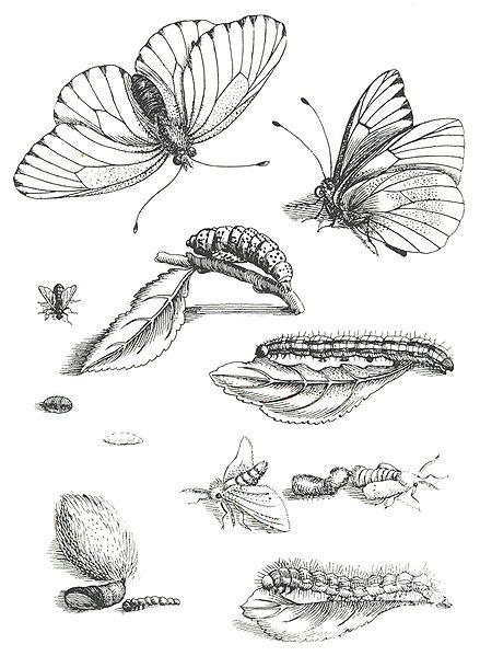 Erucarum Ortus Alimentum et Paradoxa Metamorphosis (1679-1717)