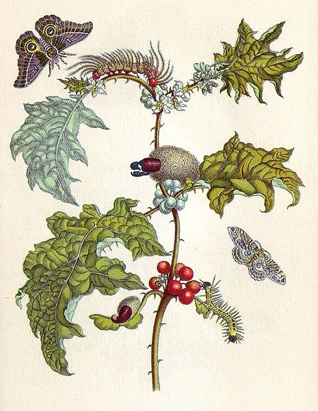 Metamorphosis insectorum Surinamensium, Bildtafel VI. 1705