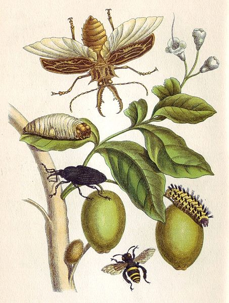 Metamorphosis insectorum Surinamensium, Plate XLVIII. 1705